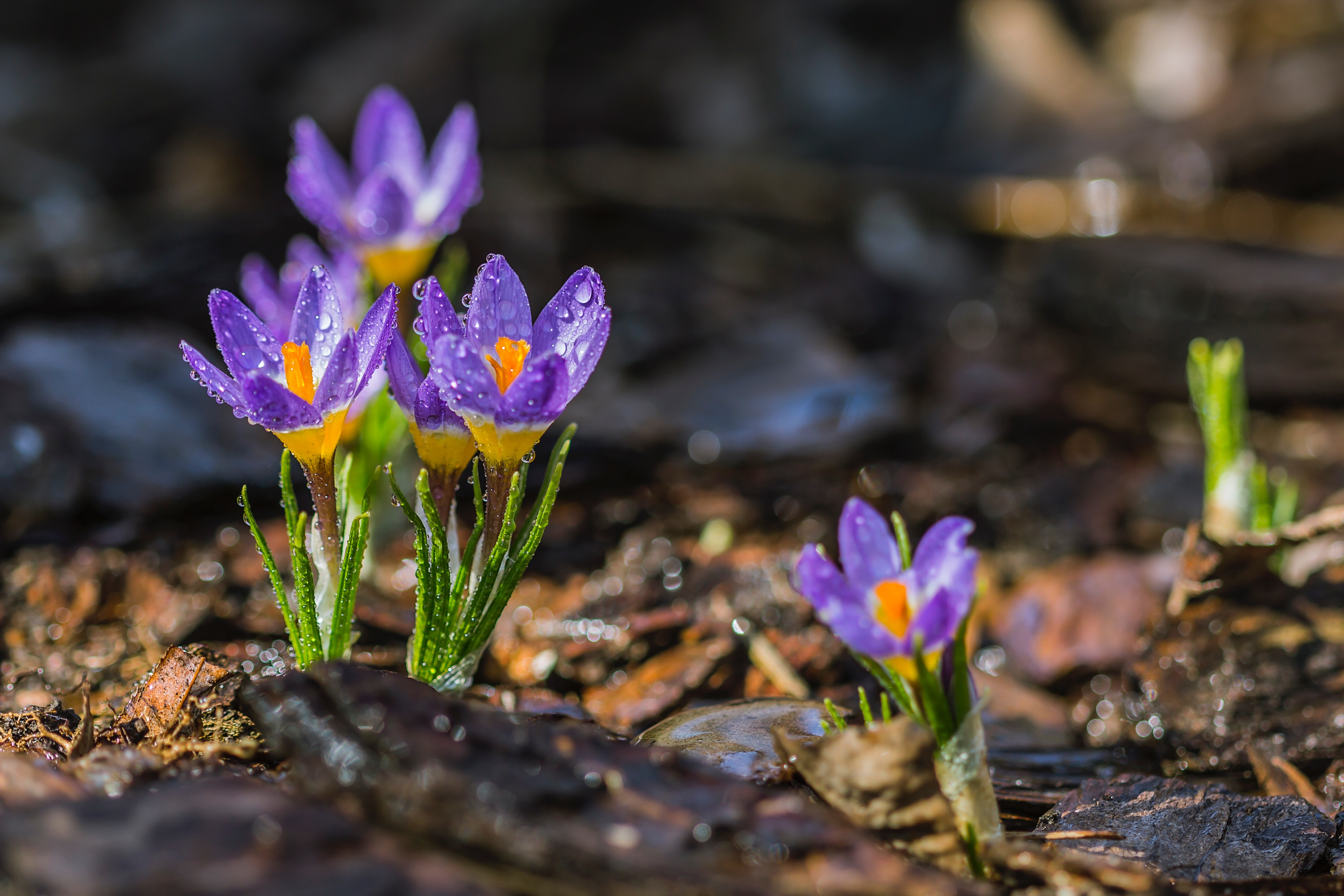 bloom-blossom-crocus-156203