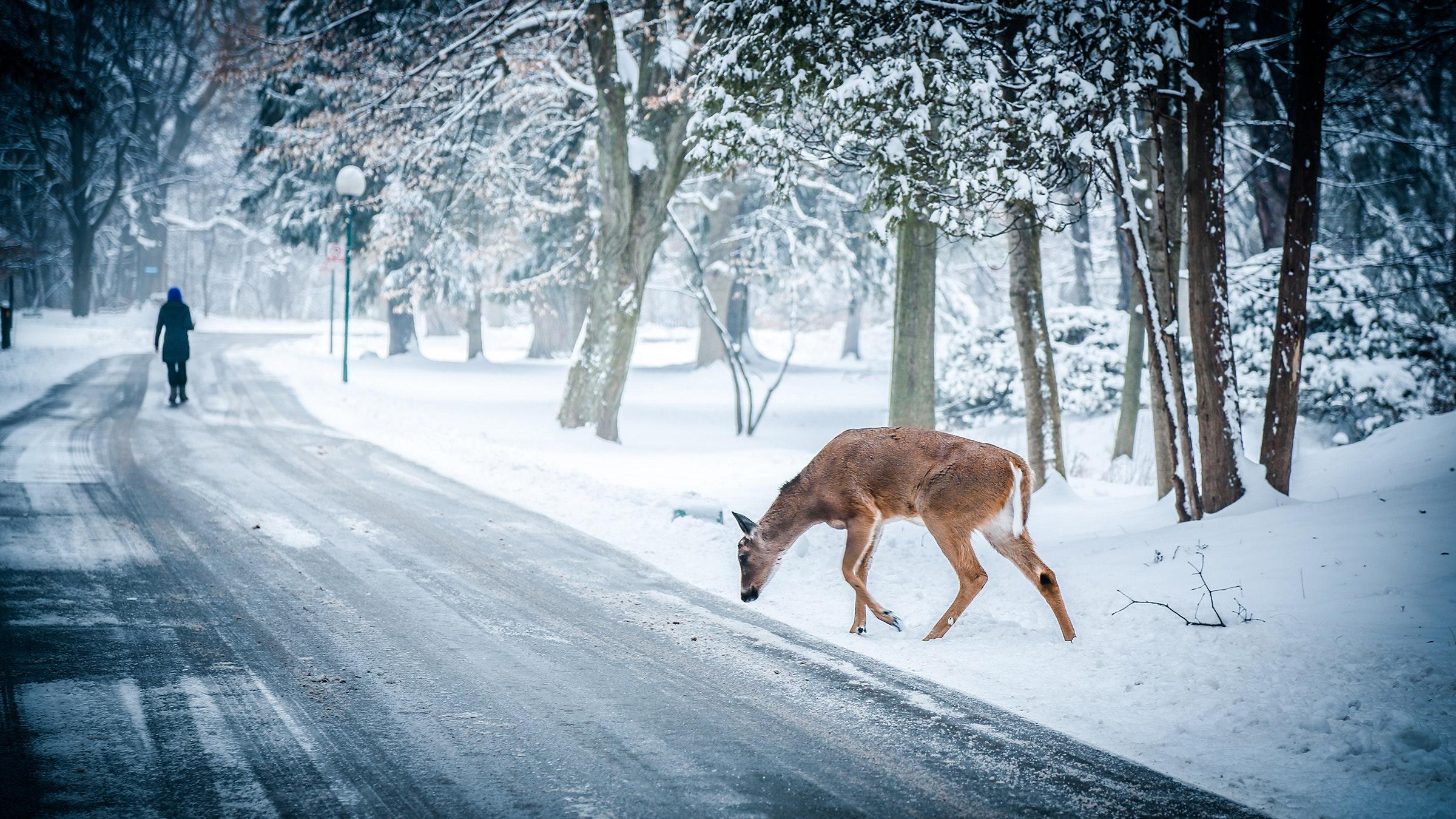 animal-deer-road-6993